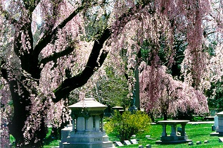 cedar hill cemetery hartford ct - Weeping Cherry